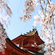fuji-hongu-sengen-sakura